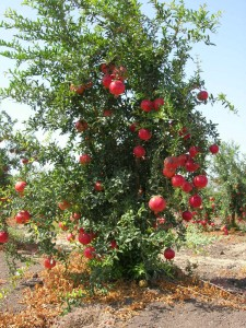 Pommegranate_tree